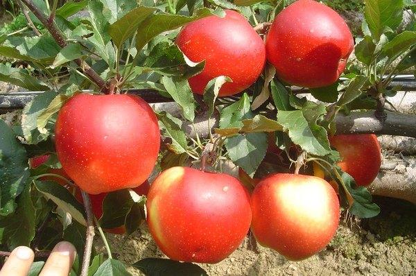 Commento al vangelo del giorno 12 settembre perch mi for Albero da frutto nano