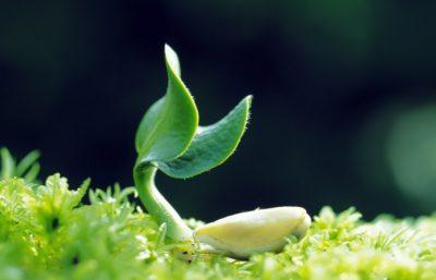 seme germoglio