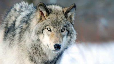 agnelli in mezzo ai lupi