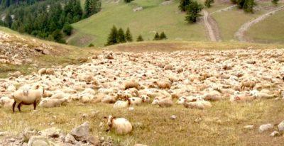 gregge_di_pecore